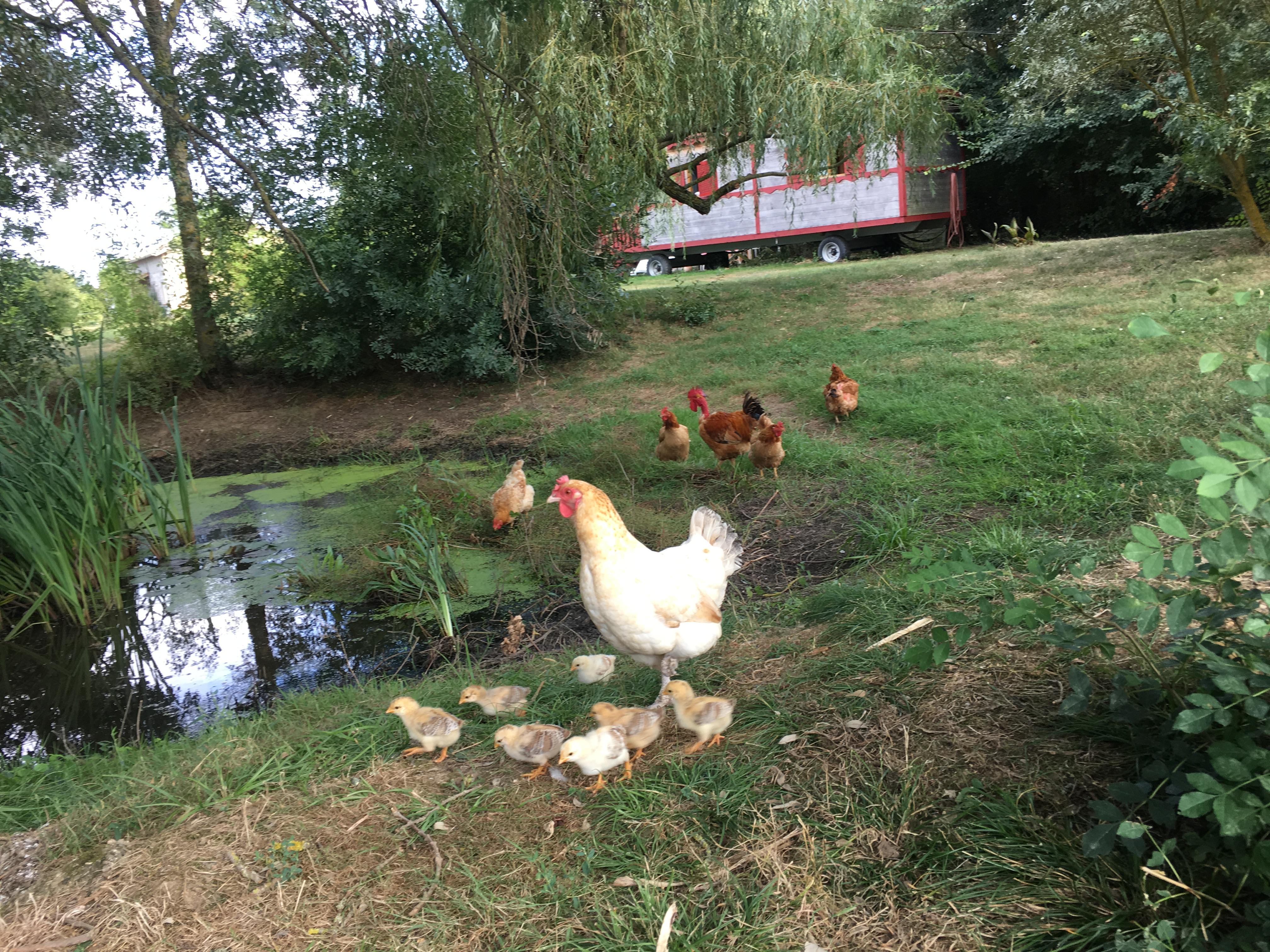 Maman poule et ses petits